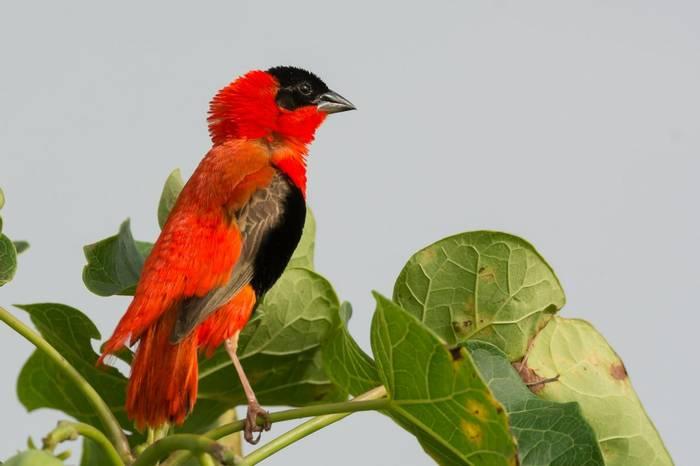 Red Bishop, Gambia Shutterstock 156332312