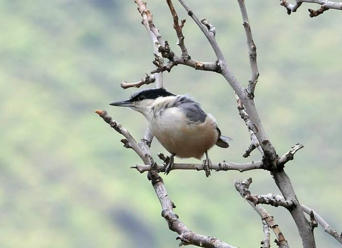 Eastern Rock Nuthatch by Clive Pickton