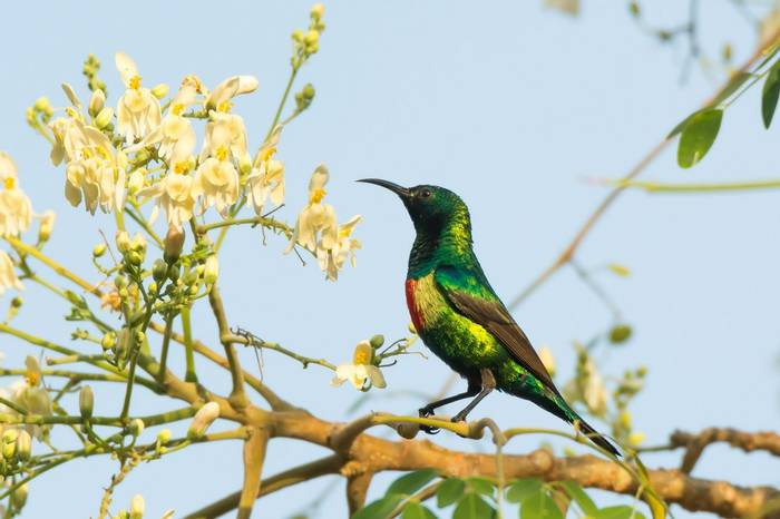 A Male Beautiful Sunbird (Nectarinia pulchella) perched near blossoms from a moringa tree