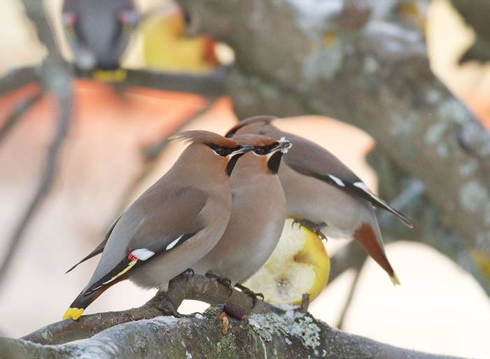 Waxwings (Daniel Green)