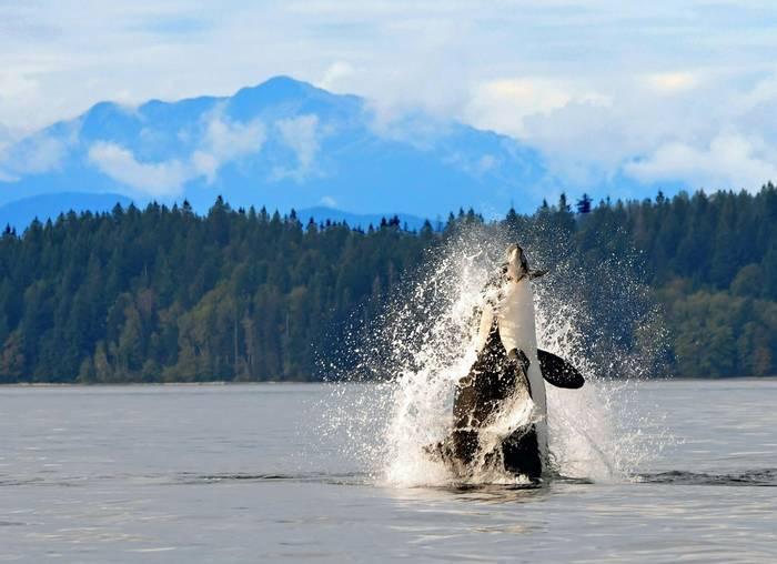 Orca breaching, Canada shutterstock_339637385.jpg