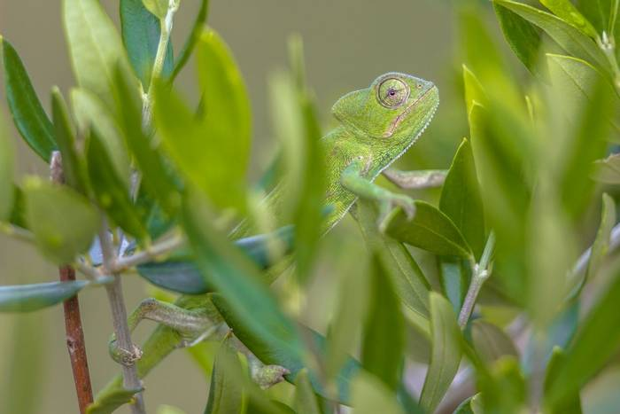African Chameleon, Greece_shutterstock_1051516244.jpg