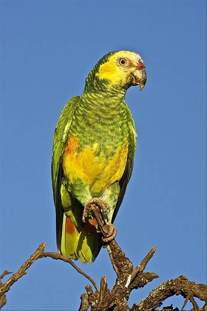 Yellow-faced Amazon (Dani Free)