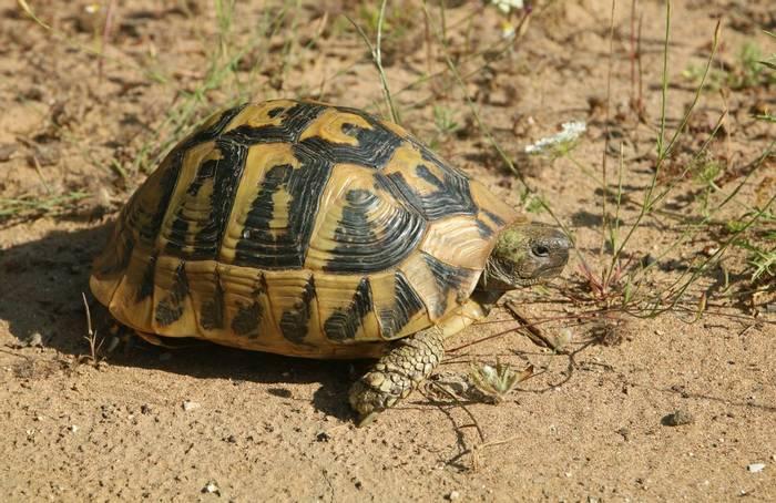 Hermann's Tortoise (Testudo hermanni) - Bobby Bok