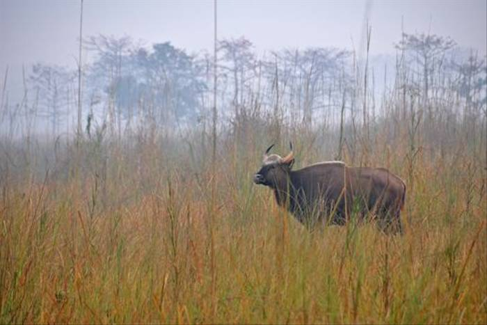 Gaur, Chitwan National Park (John Keighley)