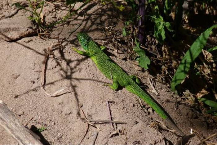 Green Lizard (Tom McJannet)