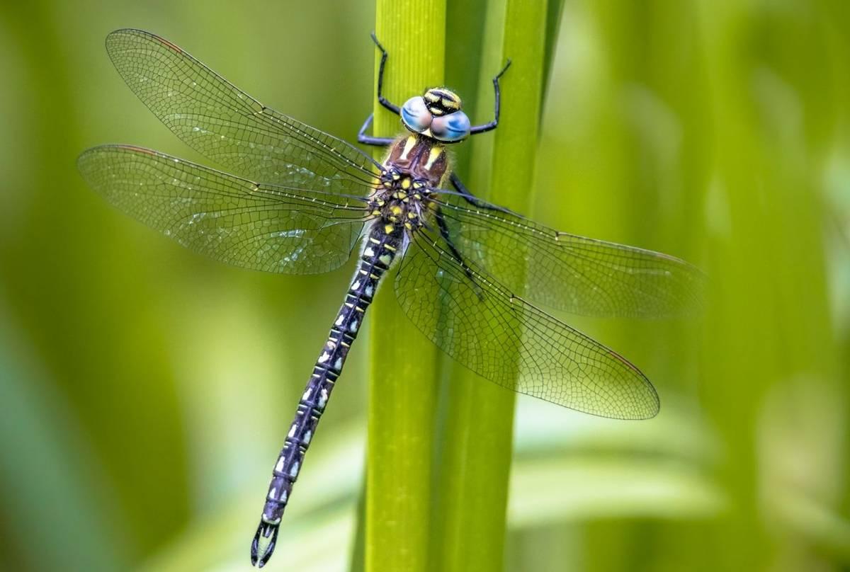 Hairy Dragonfly shutterstock_1282913242.jpg