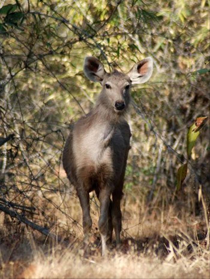 Sambar Deer (Thomas Mills)
