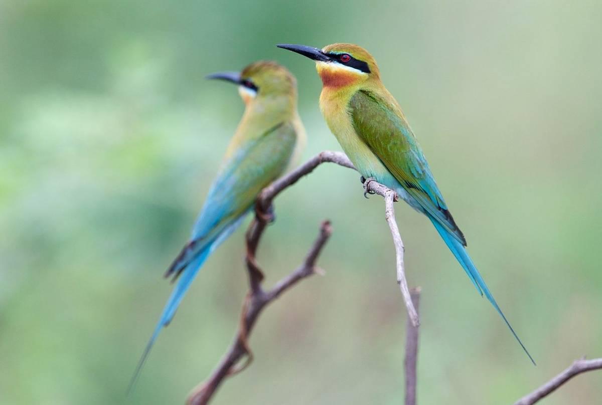 Blue-tailed-Bee-eater-shutterstock_136871480.jpg