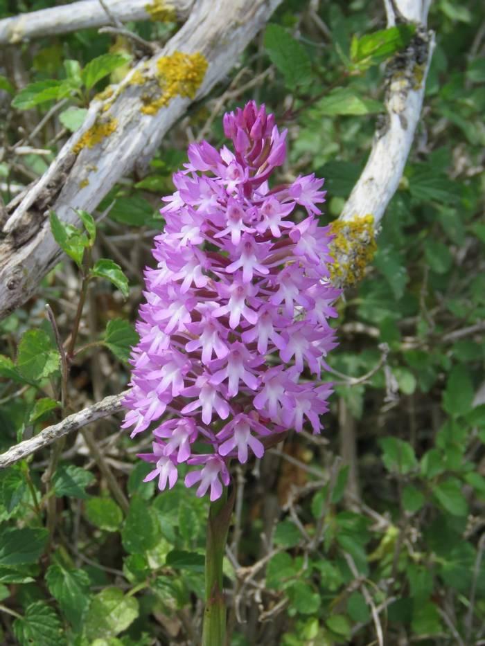 Pyramidal orchid (Anancamptis pyramidalis), Akrotiri peninsula (Heather Osborne)