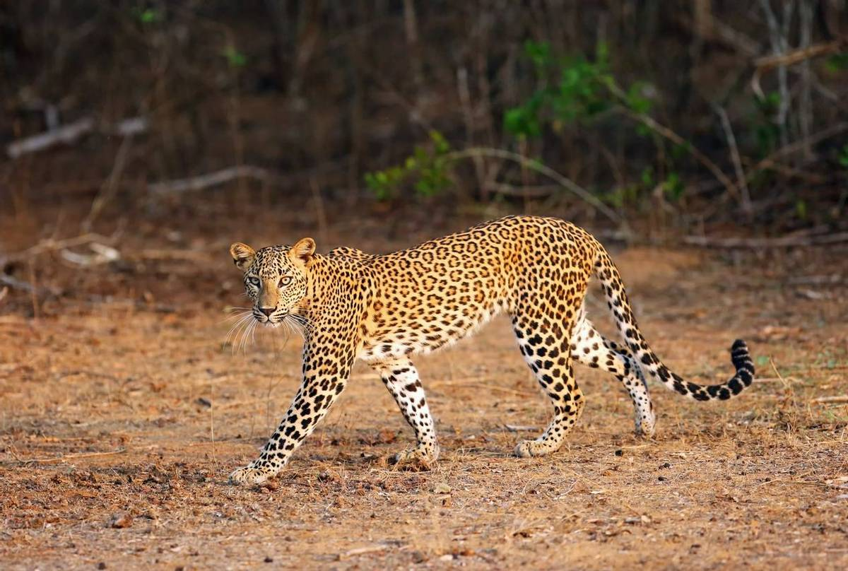 Sri Lanka - Blue Whales & Leopards - Naturetrek