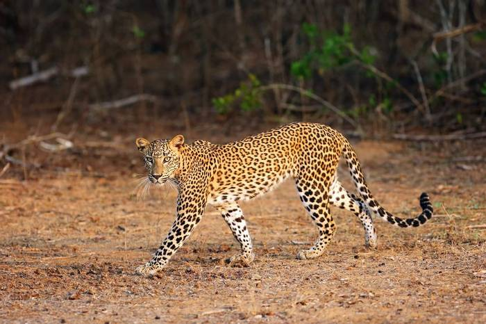 Sri Lanka (Leopard)