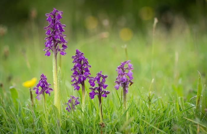 Go Slow Greece, Green-winged Orchids shutterstock_1394677943.jpg
