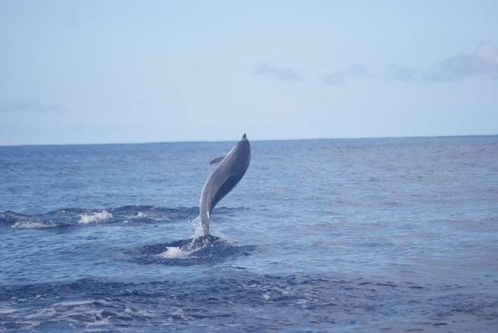 Atlantic Spotted Dolphin (Ed Drewitt)