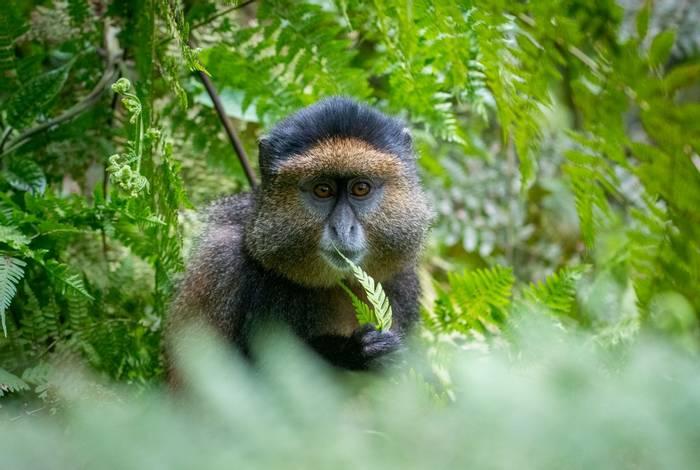 Golden Monkey, Rwanda shutterstock_791749186.jpg