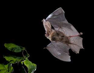 Hampshire - A Hampshire Bat Evening