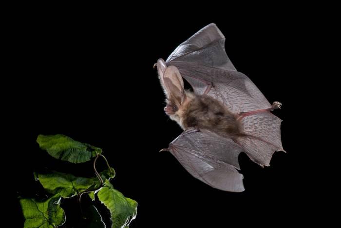 Brown Long-eared Bat shutterstock_1459723424.jpg