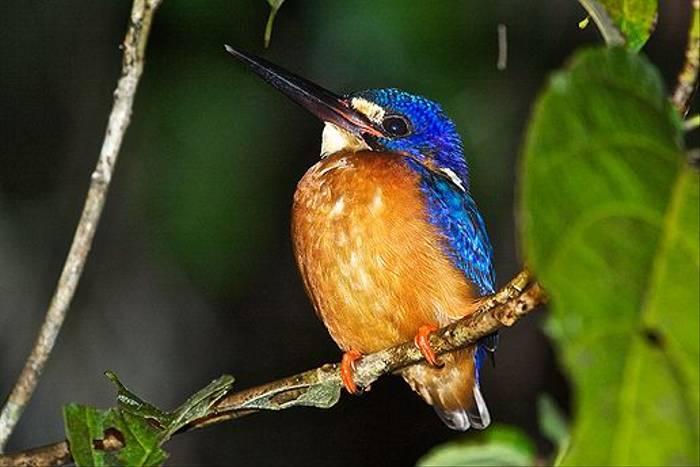Kingfisher s.p. (Dani Free)