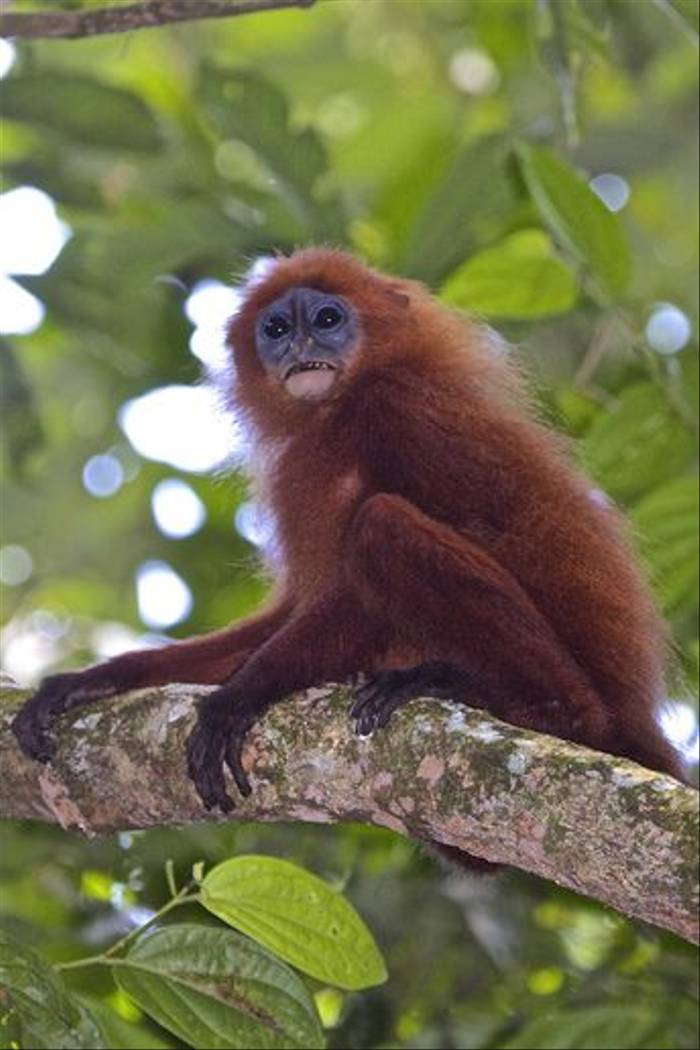 Red Leaf Monkey (Dani Free)