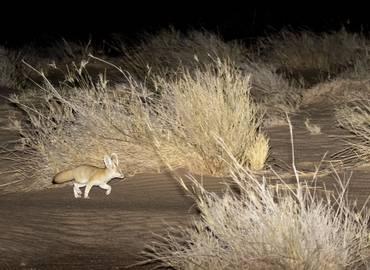Western Sahara's Desert Wildlife (Mammals)