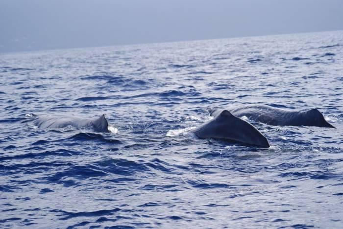 Sperm Whales (Ed Drewitt)