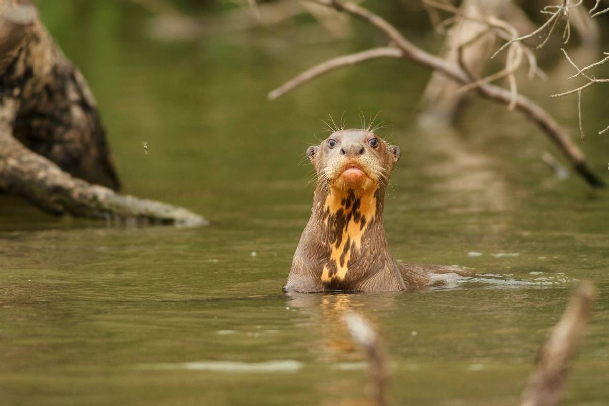 Giant River Otter Shutterstock 223517941 Christian Vinces