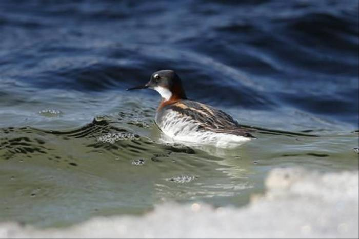Red-necked Phalarope (Gordon Small)