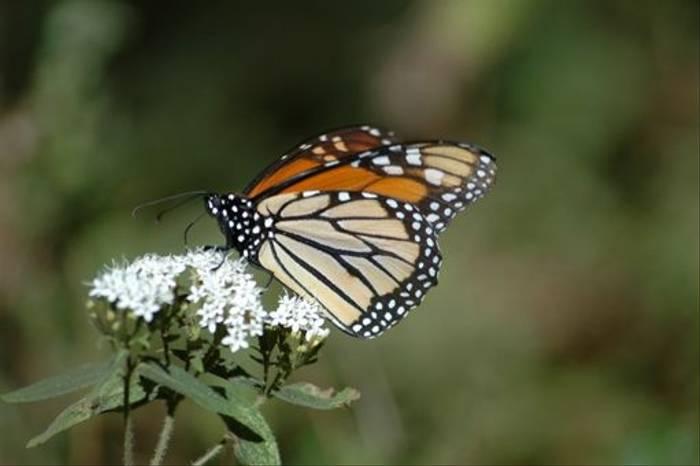 Monarch Butterfly (Paul Stanbury)