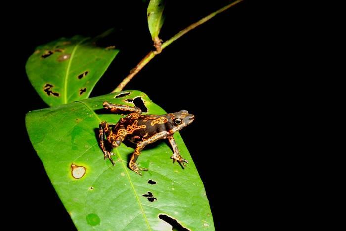 Hoogmoed's Harlequin Toad, Guyana shutterstock_1468727060.jpg