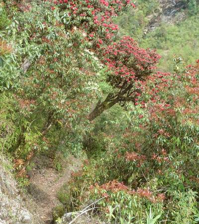 Rhododendrons on trail to Nauban Kharka (2,800m)