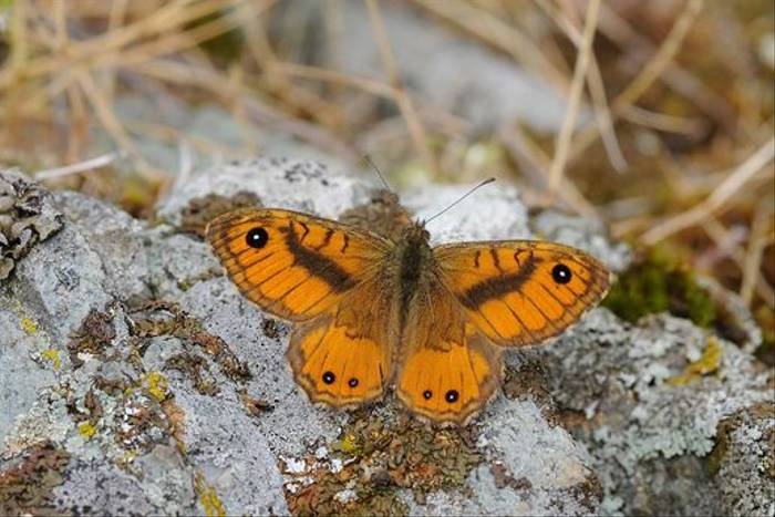 Corsican Wall Brown (David Morris)