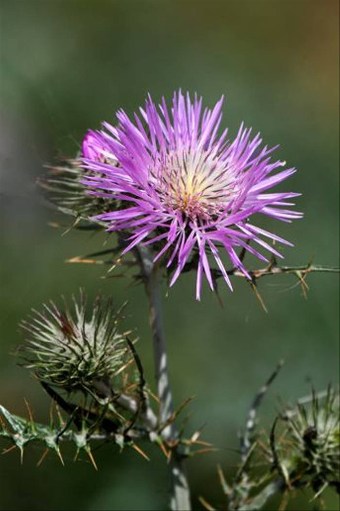 Thistle sp. (Ken Williams)