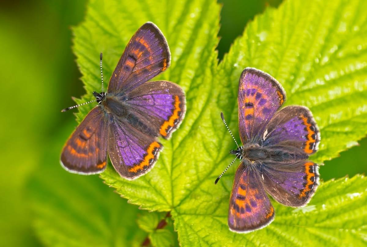 Poland Violet Coppers shutterstock_492889165.jpg