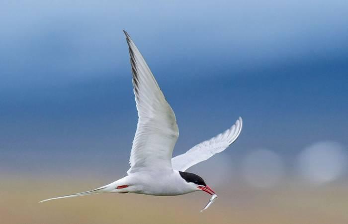 Arctic Tern shutterstock_1023757585.jpg