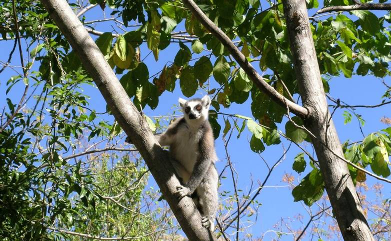 Ring-tailed lemur Isalo NP
