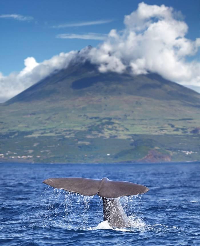 Sperm Whale Azores Shutterstock 133842782