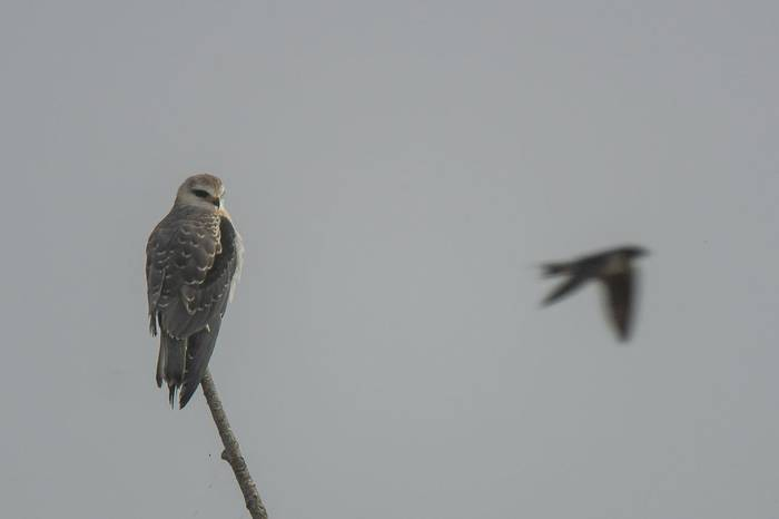Black Winged Kite (Simon Tonkin)