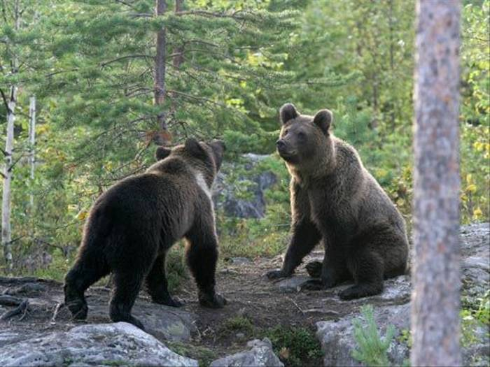 Two young bears (Pierluigi Cullino)
