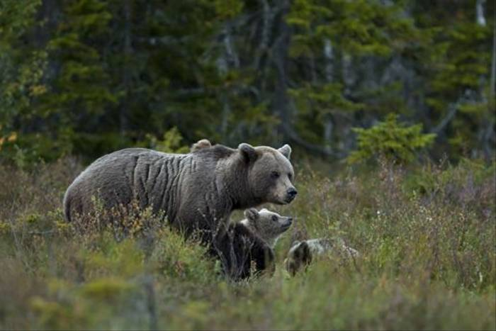 Bear family, Sweden (Hakan Vargas)