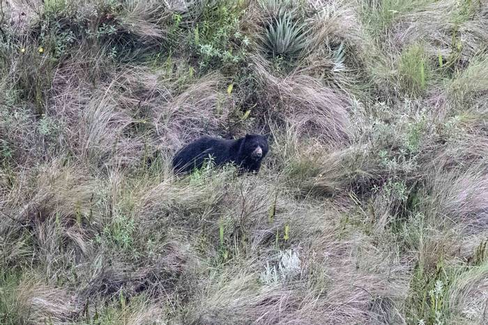 Spectacled Bear (Chris Hutchinson)