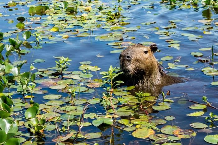 Capybara, Ibera Wetlands, Argentina shutterstock_1189374100.jpg