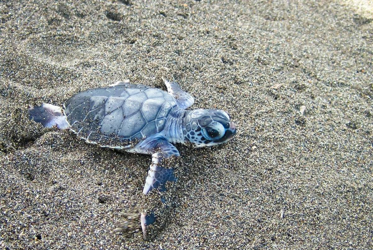 Baby Green Sea Turtle, Tortuguero Shutterstock 770002075
