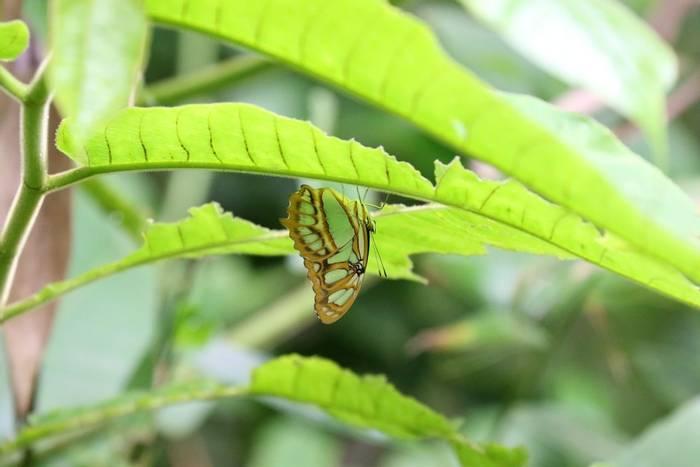 Malachite Butterfly - siproeta stelenes (Brian West).JPG