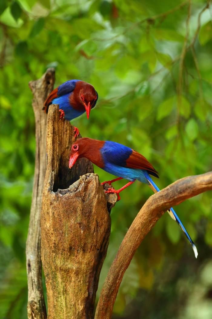 Sri Lankan Blue Magpie shutterstock_511141804.jpg