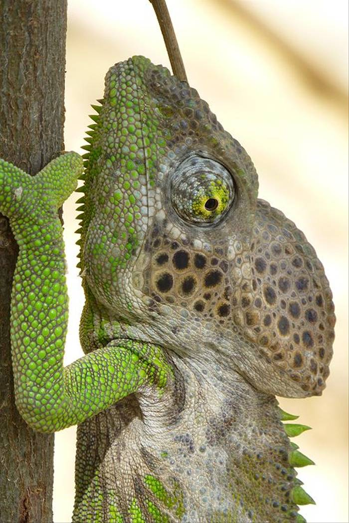 Spiny-backed Chameleon (Kerrie Porteous)