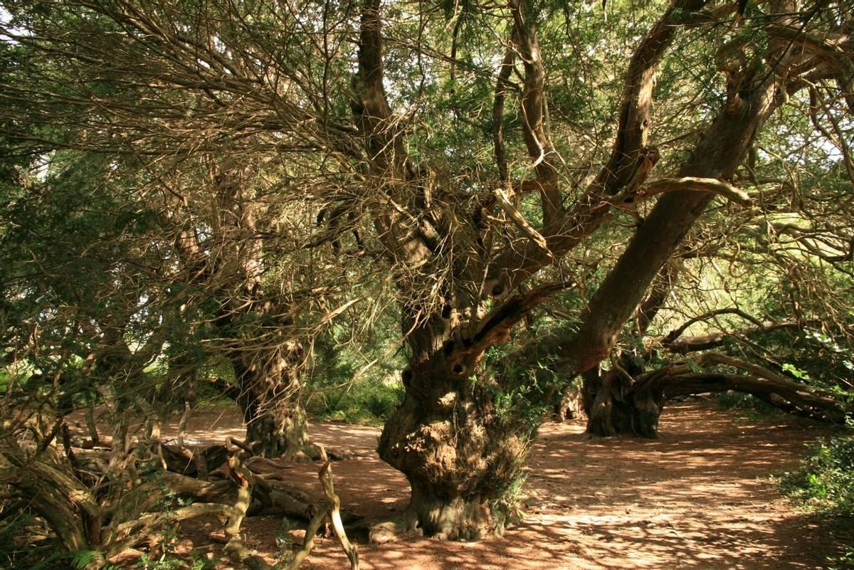 Ancient_Yew_Kingley_Vale.JPG