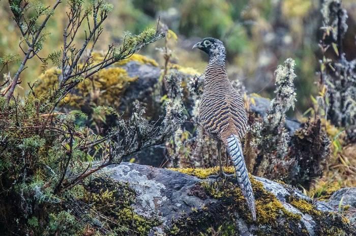 Lady Amherst'S Pheasant (Tim Melling)