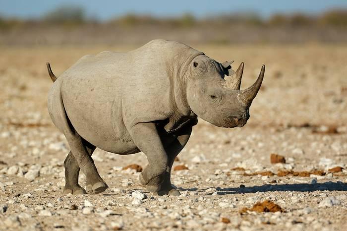 Black Rhino, Etosha, Namibia Shutterstock 506571865