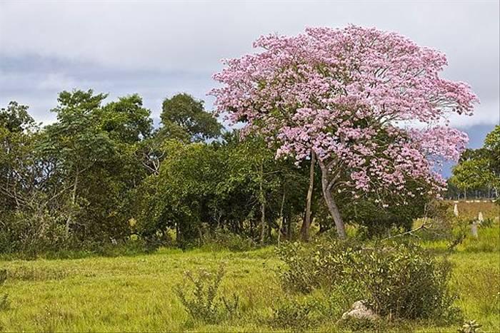 Pink Trumpet Tree (Dani Free)