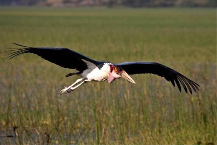Maribou Stork (Dani Free)